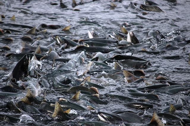 стая лосося