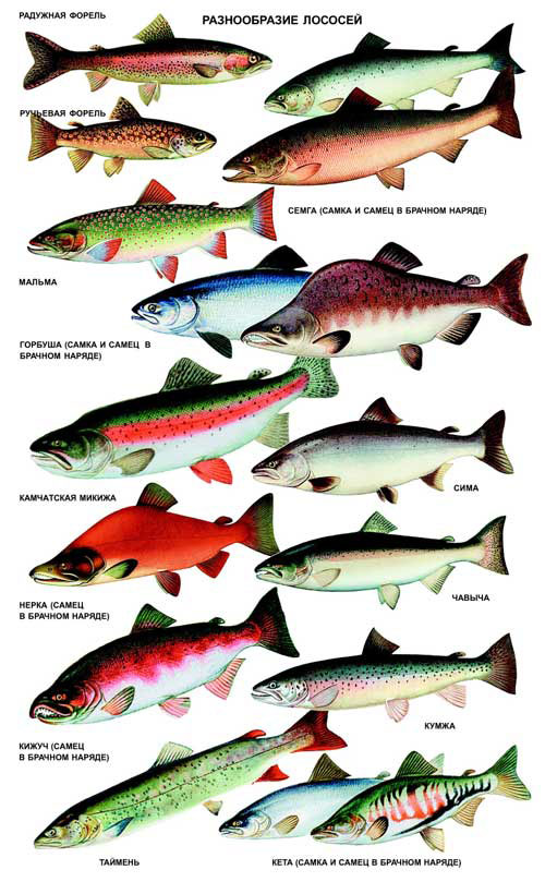 виды лосося